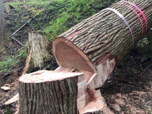吉野杉伐採